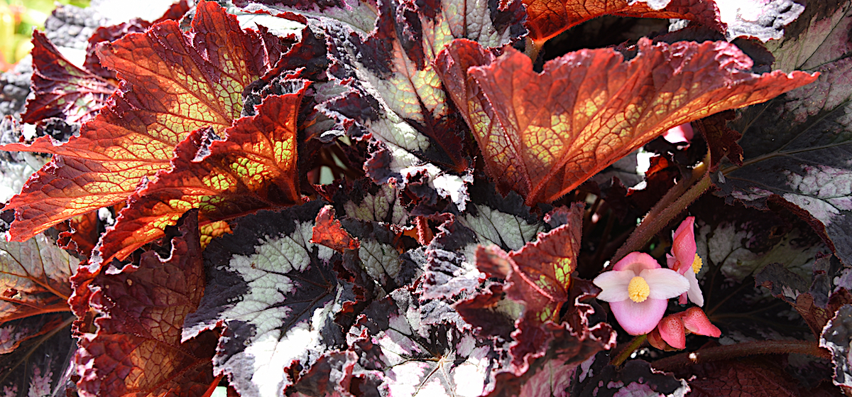 The Rex Jurassic Shades Begonia