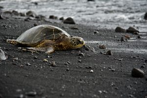 Green turtle at Panalu'u Black Sand Beach in Hawaii