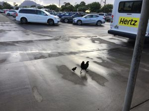 Feral chickens in the Hertz parking lot.