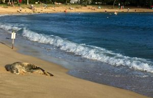 Monk seal at Poipu Beach.